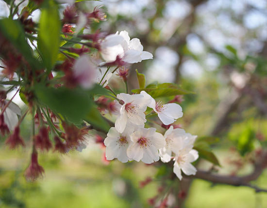 �� ������ �T�N�� �� �� sakura Cherry tree flowers �摜
