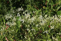Sweet Autumn Clematis 若い仙人 仙人草の花