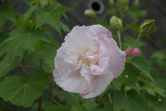 cotton rosemallow 2�@�����u�@�ߌ�