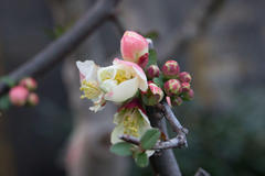 flowering quince 木瓜の花