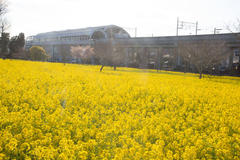 Rape blossoms field 菜の花畑