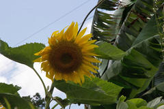 sunflower 向日葵