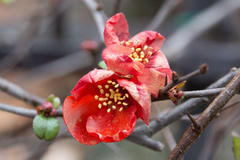 flowering quince 寒の木瓜