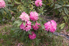 Rhododendron subg. Hymenanthes 石楠花