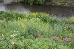 River bank flowers 川岸の花