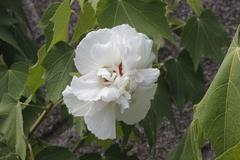 Cotton rosemallow 白芙蓉