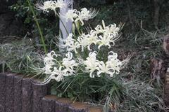 white spider lily 白花曼珠沙華