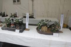 Chrysanthemum exhibition 菊を愛でる