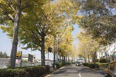 lined gingko biloba trees 銀杏並木