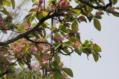 Chinese quince 花梨