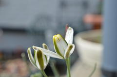 Albuca sp.   upright broad lus