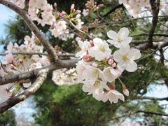 Cherry blossom viewing♪