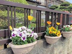 Pansies and tulips