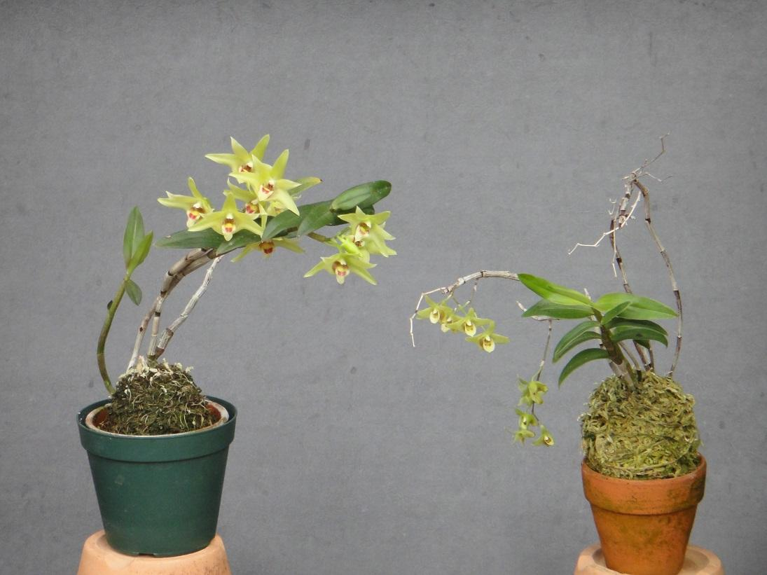 Dendrobium officinale and Dendrobium tosaense