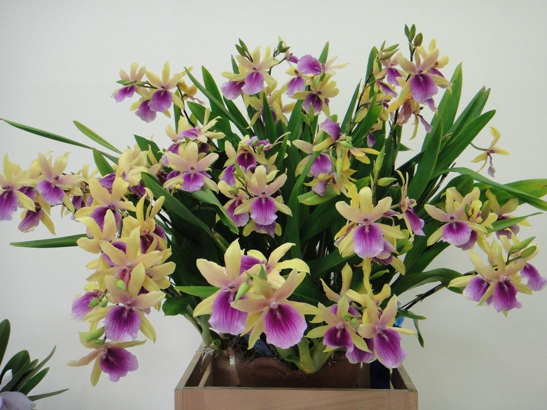 Miltonia Enzan Summer Time