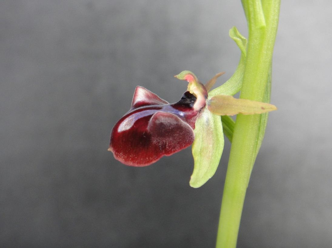 Ophrys sphegodes subsp. mammosa