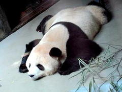 Chengdu dream 2 「Panda & Fire」