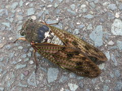 アブラゼミ (Large brown cicada)
