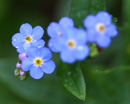 forget-me- not