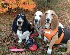Basset Hound Meeting 2012 Autumn−おともだち編�T