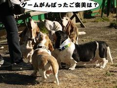 Basset Hound Meeting 2012 Autumn−うまうま編