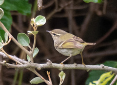 キマユムシクイ他 Yellow-browed Warbler 2 & others