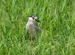 田んぼのゴイサギ Black-crowned Night Heron 4