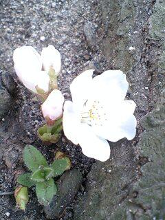 cherry blossoms of the ground