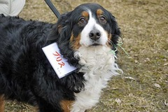 �R���P�T��@Bernese Fancier2015 �p�[�g�R