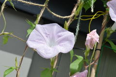 �䂪�Ƃ̃K�[�f�j���O2014�ā@����@�A�T�K�I�@Japanese morning glory