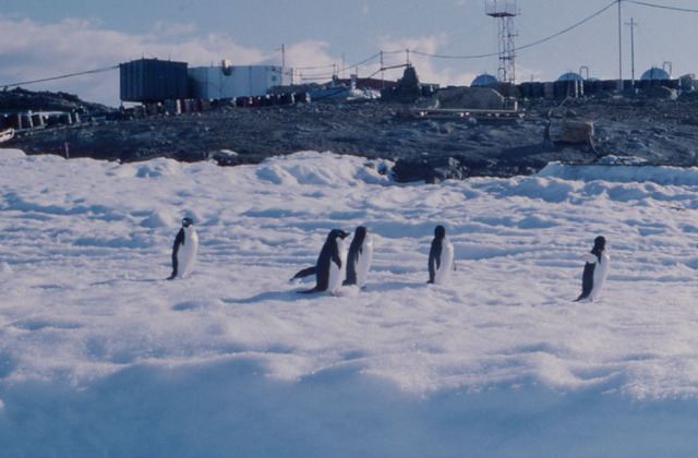Penguins near Syowa Station.JPG