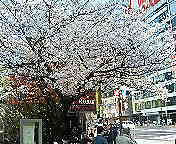 Cherry blossoms in Ginza