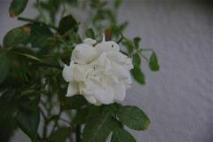 The last  rose of summer in my small garden