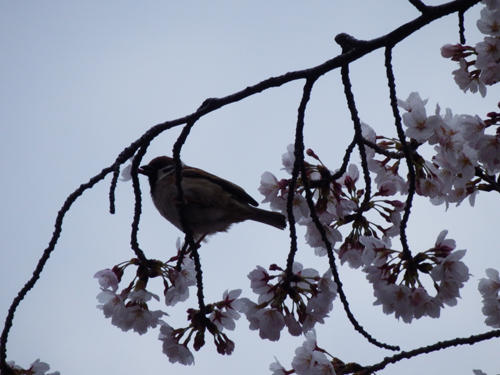 すずめと桜(Sparrow and Sakura)