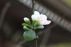 Flowering Quince 木瓜の花言葉