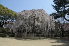 Cherry Blossoms of Kyoto Imperial Palace 京都御所の枝垂れ桜