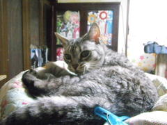 20 years old ocicat KIKI