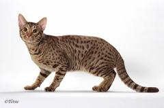 QGC FUKUMANEKI AROUDIGHT the 3rd best ocicat!