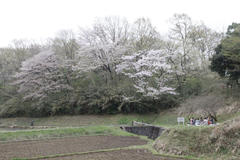 Old Cherry Blossoms 鴨志田の桜