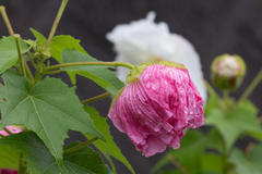 life of cotton rosemallow 酔芙蓉の一生