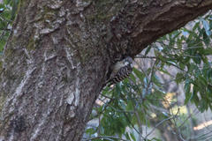 Japanese Pygmy Woodpecker コゲラ