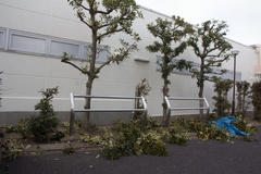 Pruning of street trees 街路樹の剪定