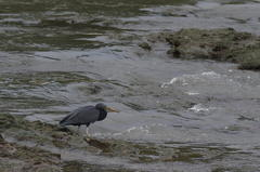 Eastern reef heron…