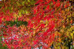 Autumn leaves hunting 紅葉狩り 寺家ふるさと村