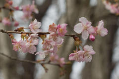 Cherry blossoms 寺家ふるさと村の早咲き桜