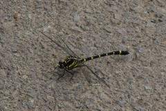Golden-ringed dragonfly オニヤンマ