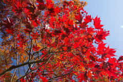 autumn foliage 紅葉狩り