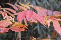 red leaves 櫨紅葉