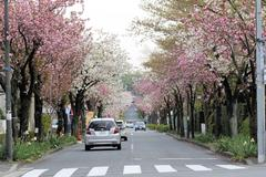 Cherry Blossoms tunnel 三輪緑山の桜のトンネル