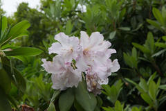 Rhododendron 高蔵寺 シャクナゲ